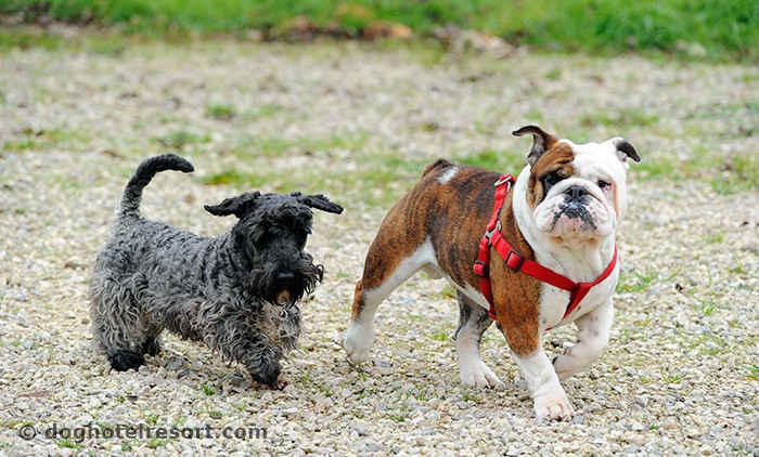 dog-hotel-resort-garderie-chiens-loisirs